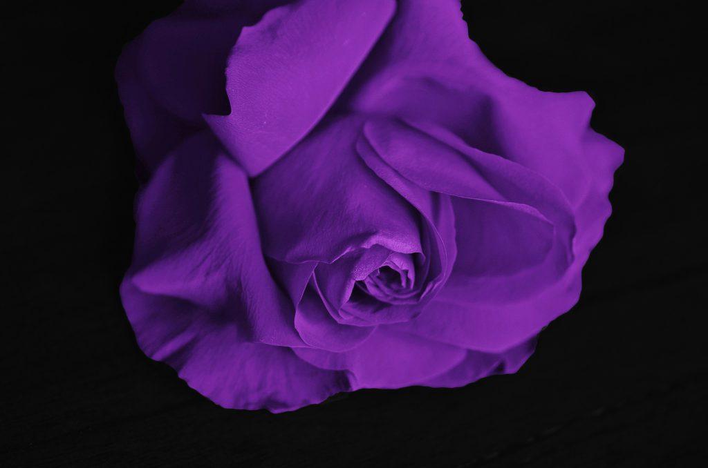 Fioletowa róża